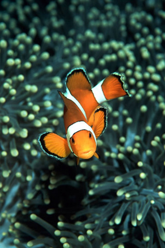 Clown Fish Wallpaper HD iPhone HD Wallpaper download iPhone 640x960