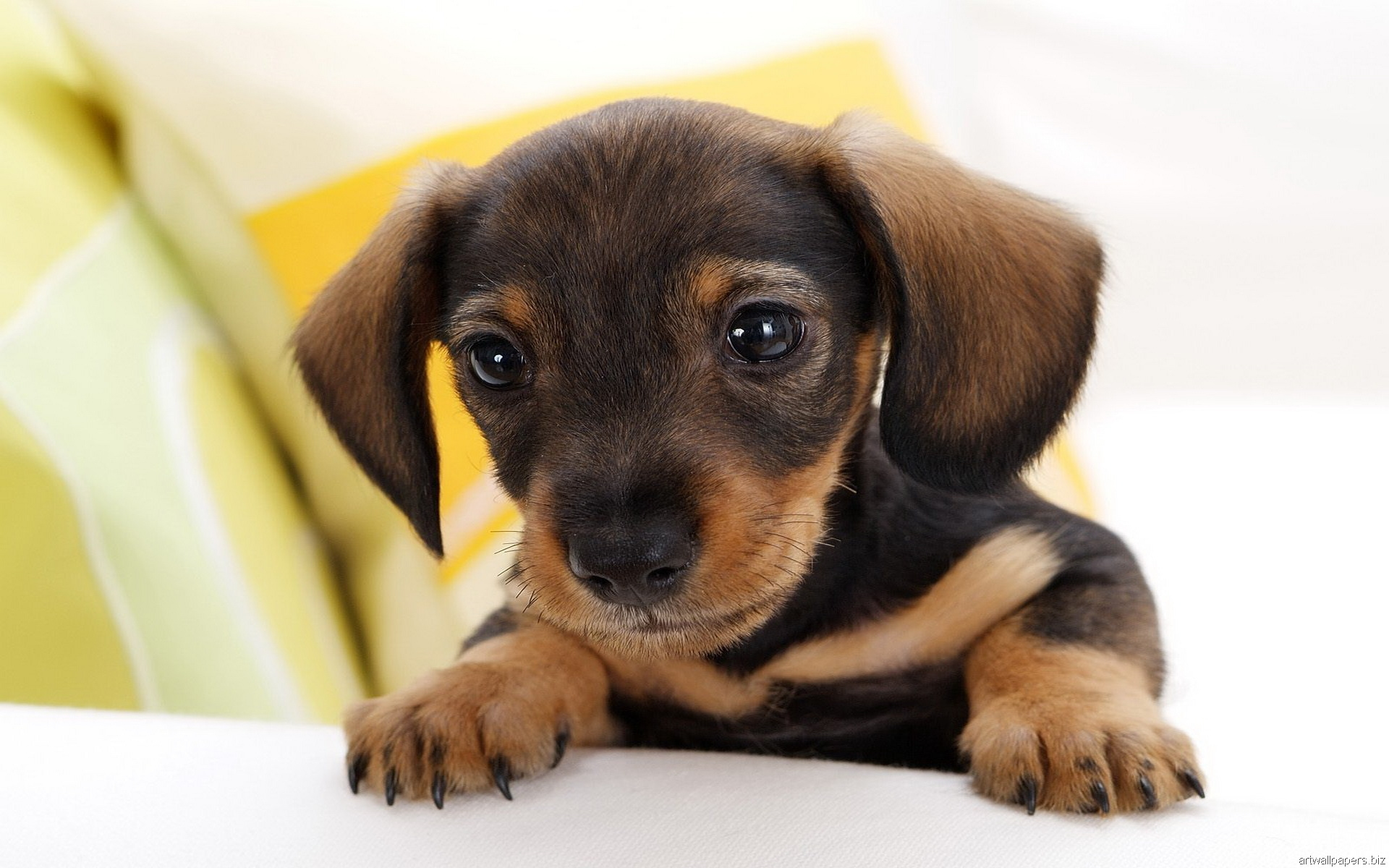 Hd Dachshund Puppy Wallpaper HD Walls Find Wallpapers 1920x1200