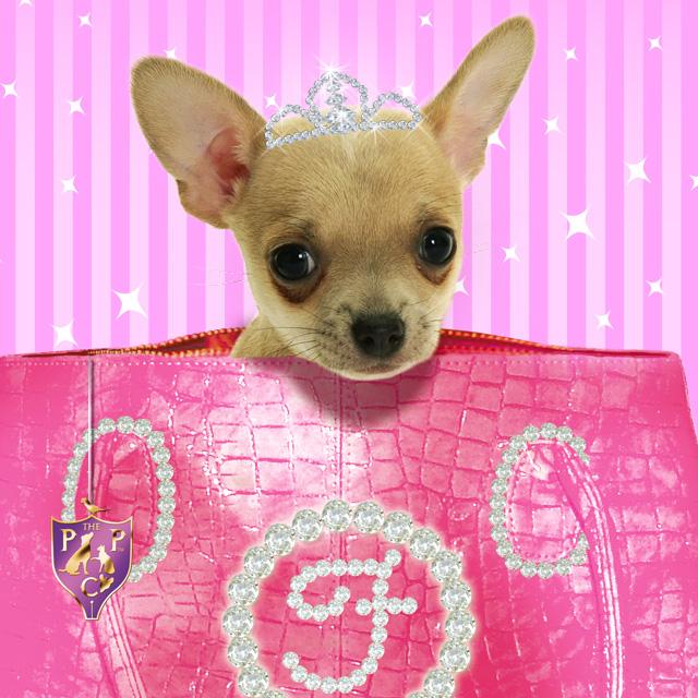 Chihuahua Wallpaper And Screensavers