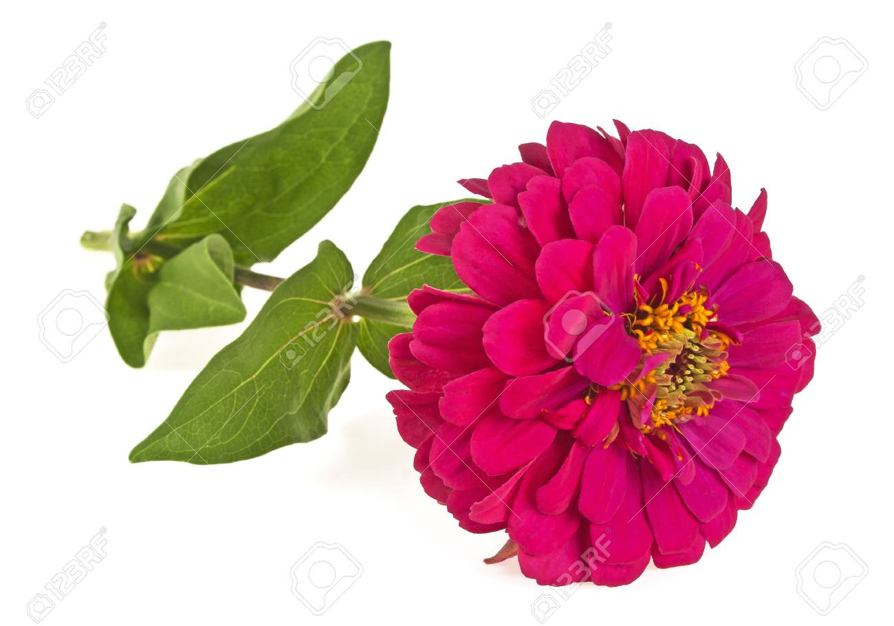 Zinnia Flower Isolated On A White Background Stock Photo Picture 1300x910