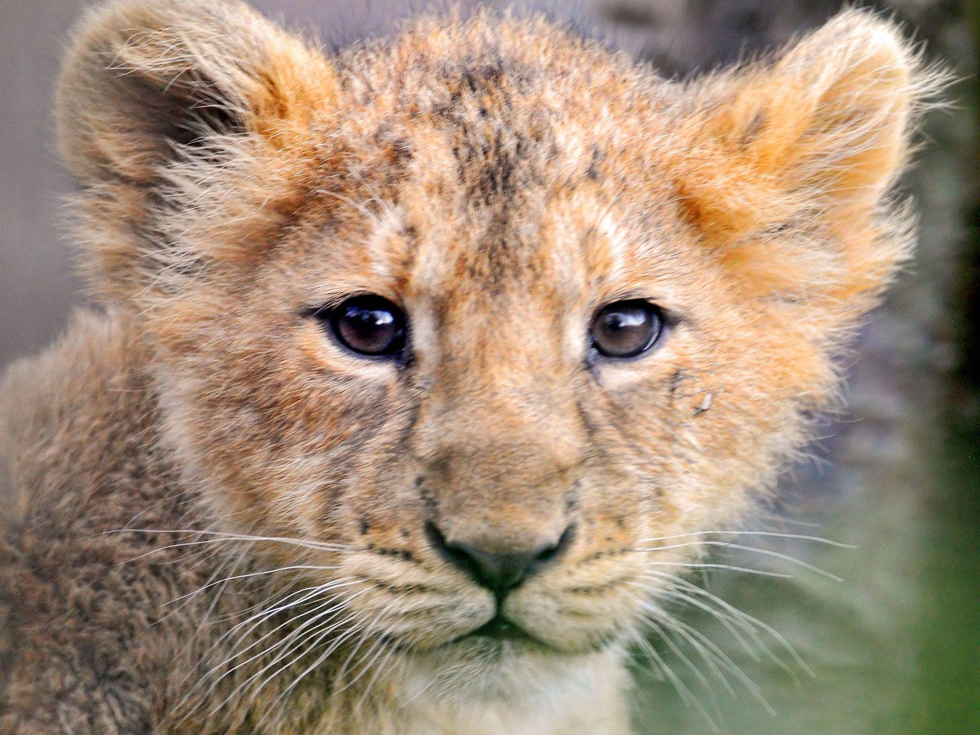 Lion Cubs Wallpapers 1920x1440