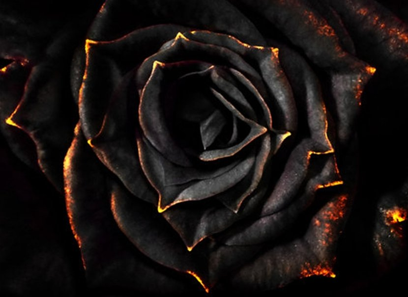 Wallpaper Black Rose