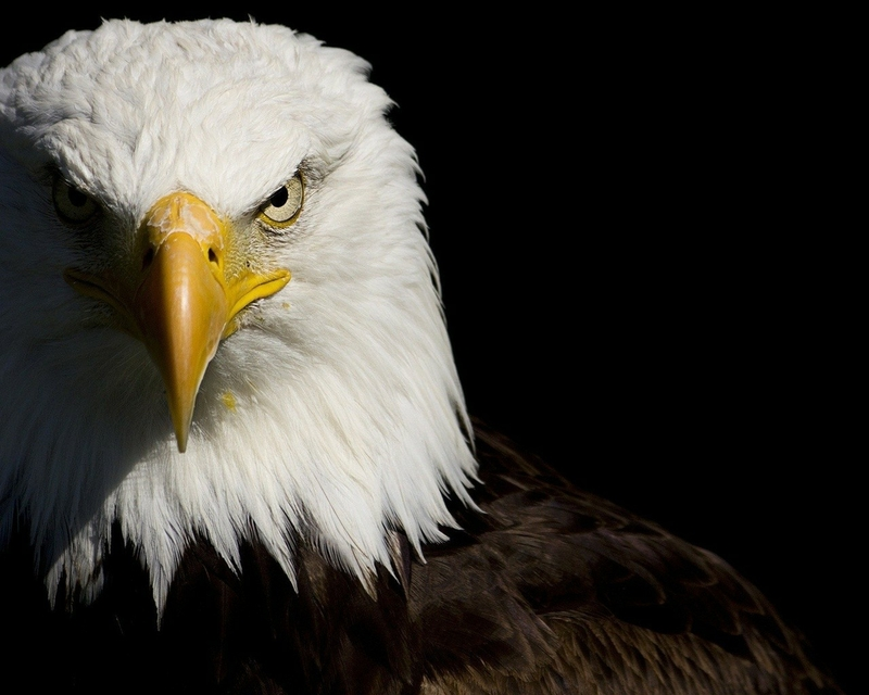 eagle 1280x1024 wallpaper - photo #3