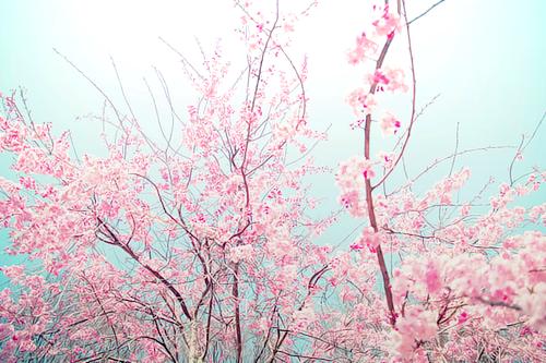 theme blossom 500x333