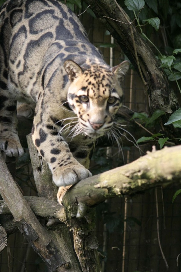 CLOUDED LEOPARD photos   wallpapers the fun bank 600x900