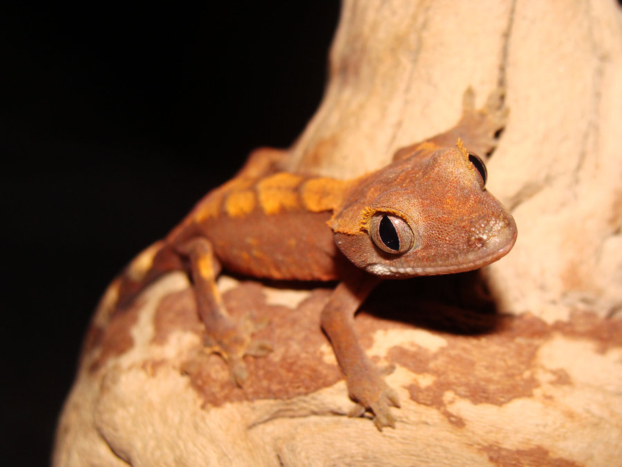 48+] Crested Gecko Wallpaper on WallpaperSafari