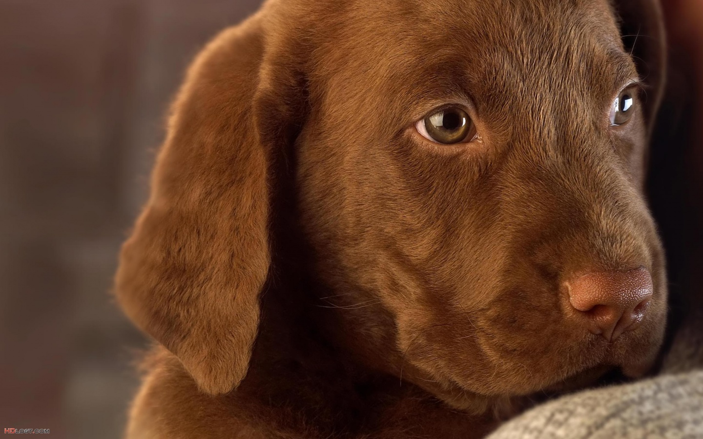 Pictures Chocolate Labrador Puppy 1440x900 pixel Size 392573 Octets 1440x900