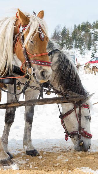 Horses iPhone 6S Plus Wallpaper 338x600