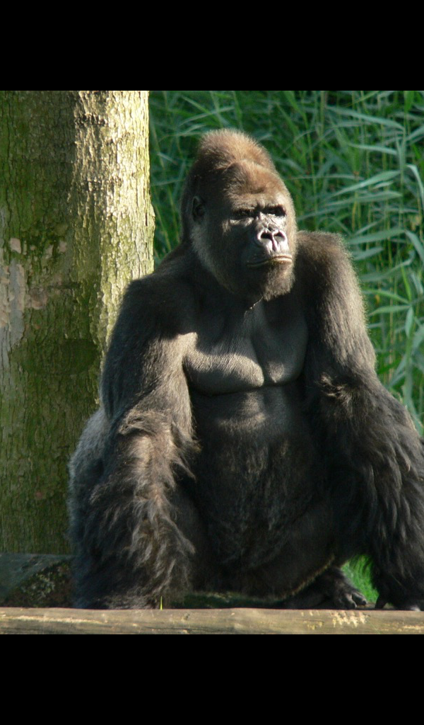 Amazoncom gorilla Wallpaper    HD Wallpapers of gorillas 600x1024