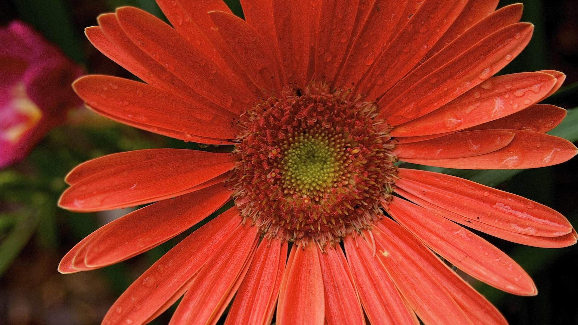 Muriva Daisy Floral Metallic Gerbera Flower Wallpaper Red Cream