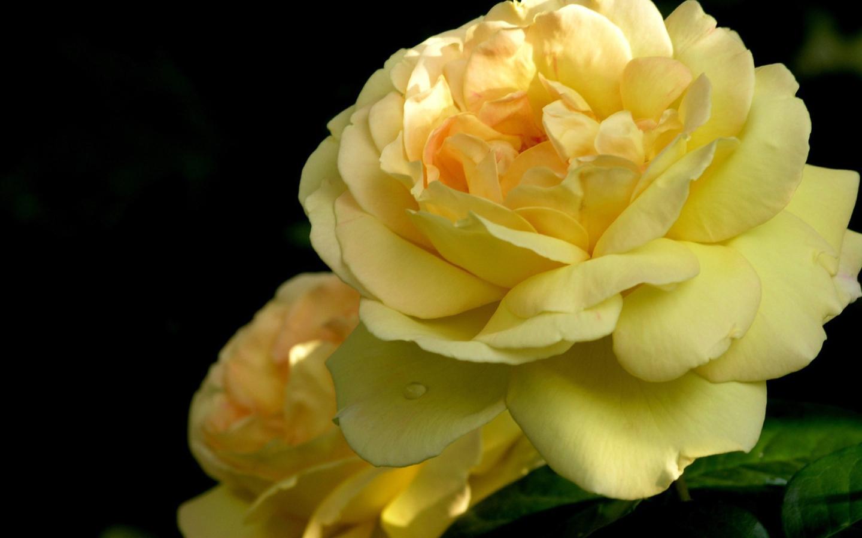 Yellow Roses Wallpaper For Desktop
