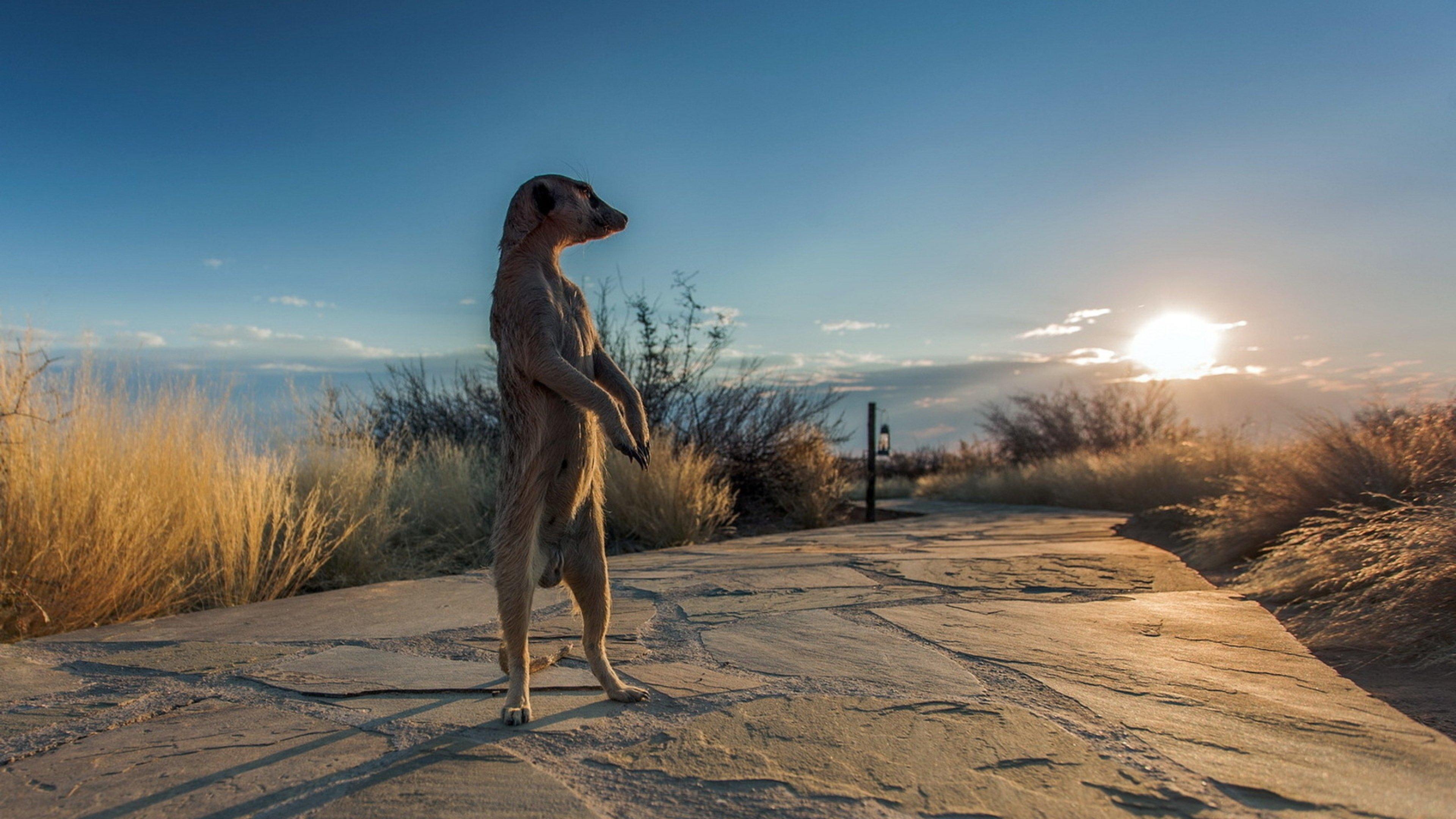 nature africa meerkats 3840x2160