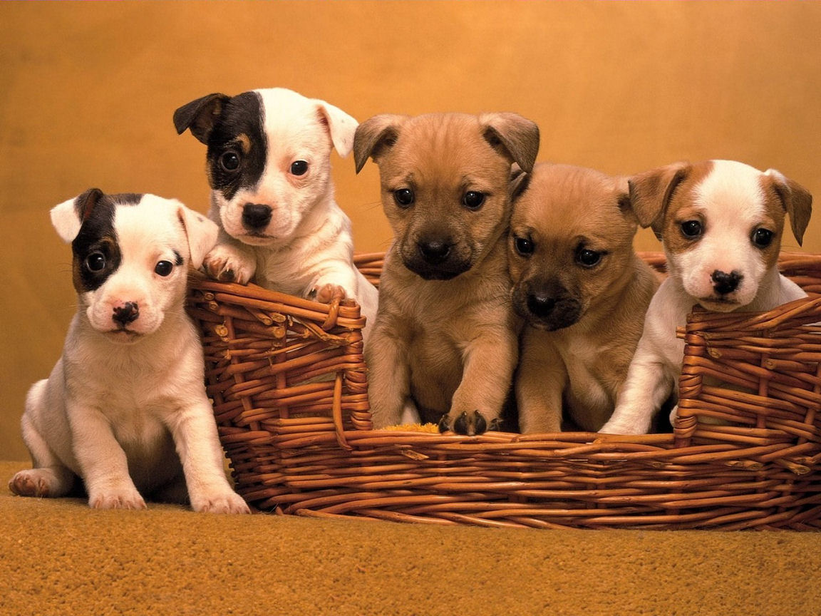 Jack Russell Cute Puppies Wallpaper for your Computer Desktop 1152x864