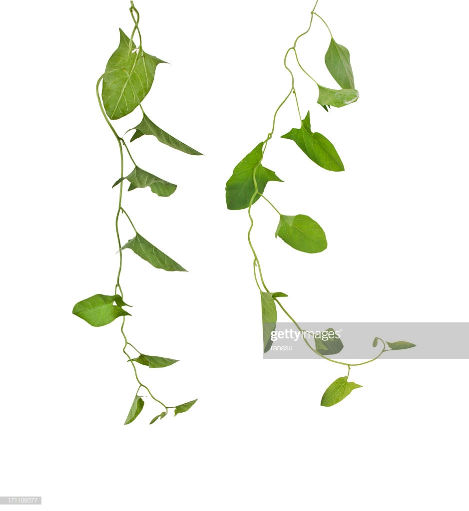 Ivy Vines Growing Down Against White Background High Res Stock 939x1024