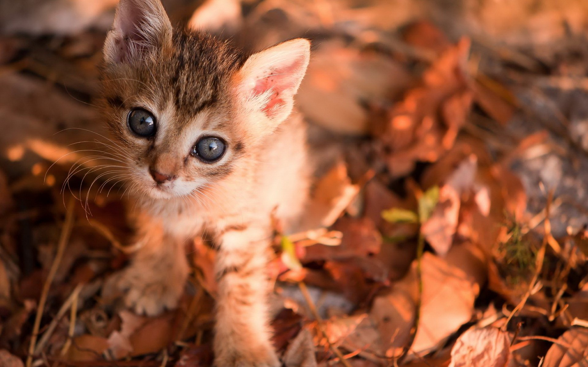 face eyes cute pov leaves autumn fall whiskers wallpaper background 1920x1200
