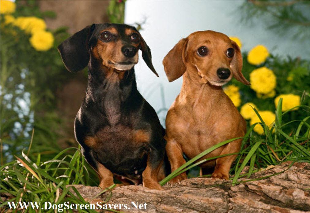 Dachshund Dogs Screensaver 1012x697