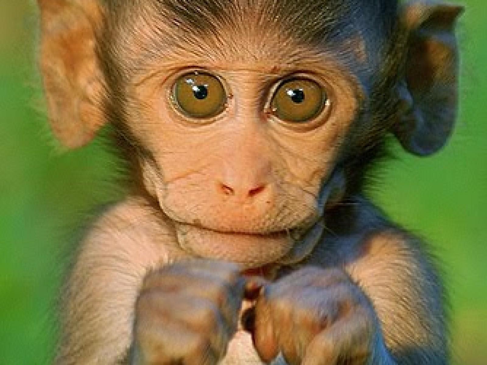 Baby Monkey Wallpaper Wallpapersafari