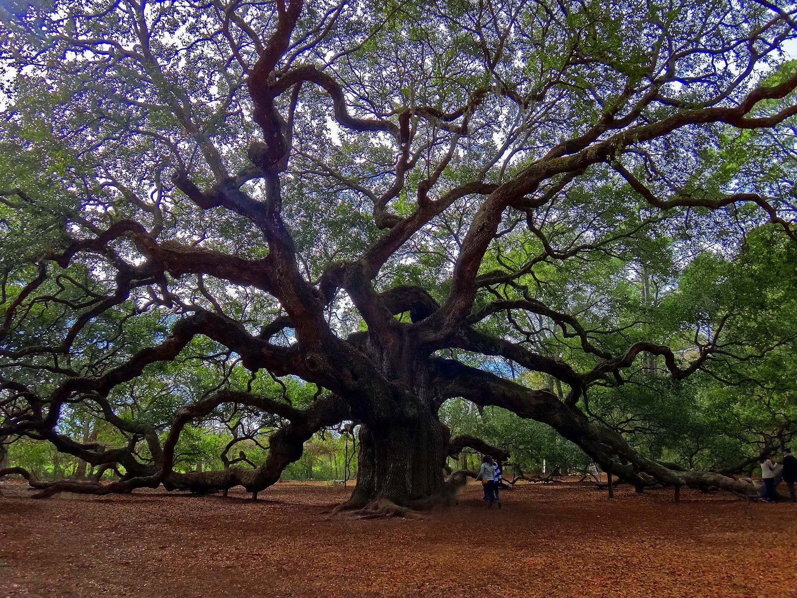 Angel Oak Tree Wallpaper 5   1600 X 1200 stmednet 1600x1200