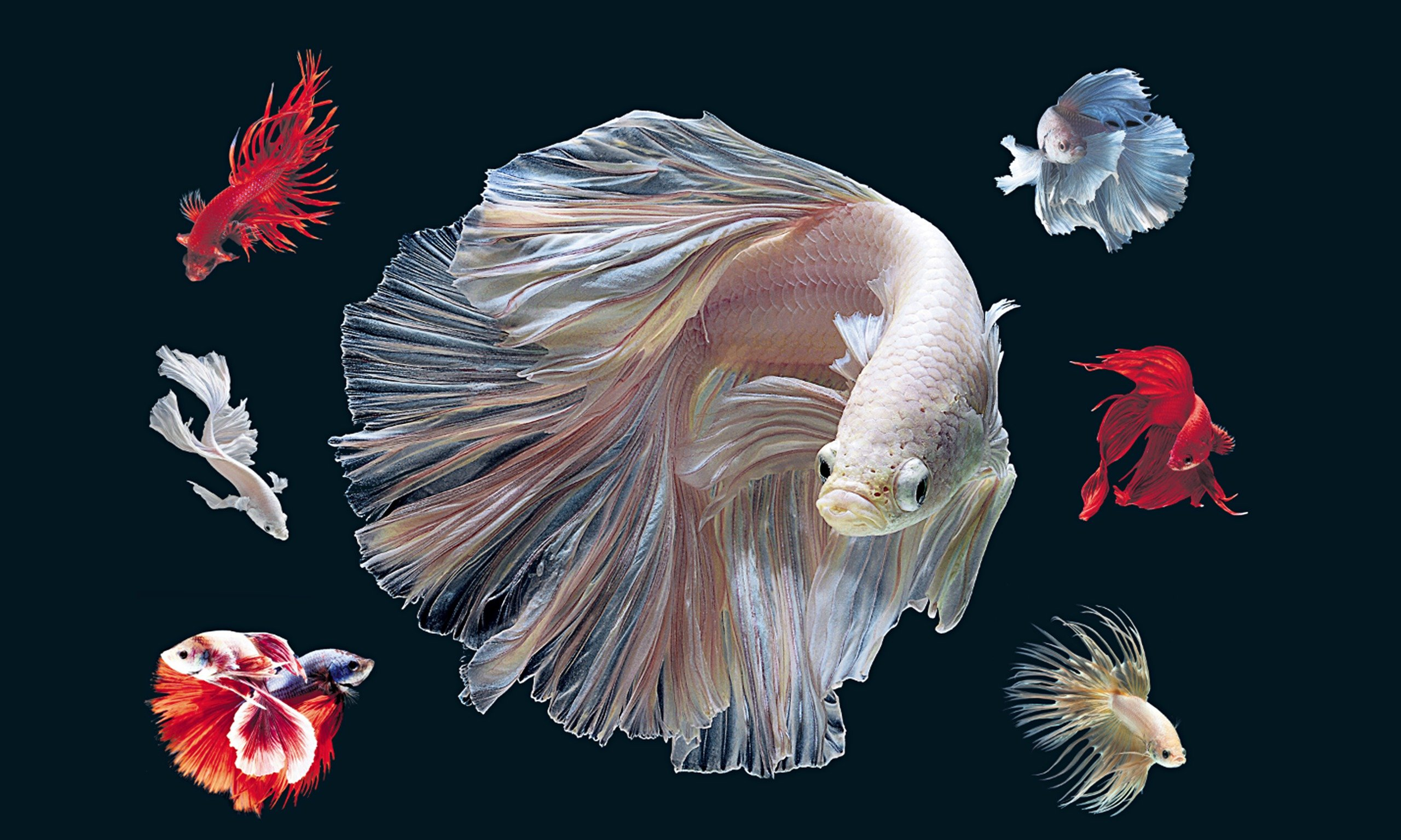 [48+] Betta Fish Wallpaper On WallpaperSafari