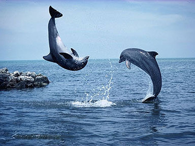 HD Animal Wallpapers HD Dolphins wallpapers 640x480