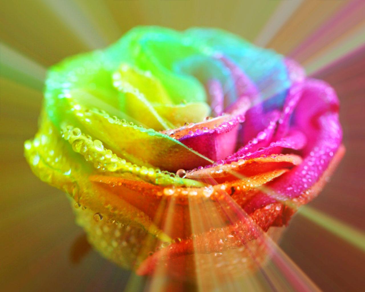 Rainbow roses wallpaper wallpapersafari for What are rainbow roses