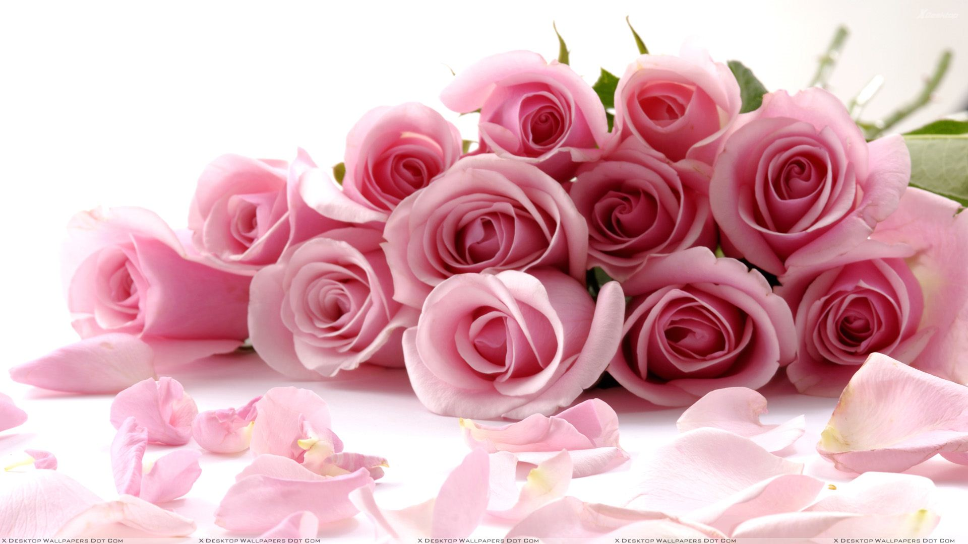 Pink Roses On White Background Closeup Wallpaper 1920x1080