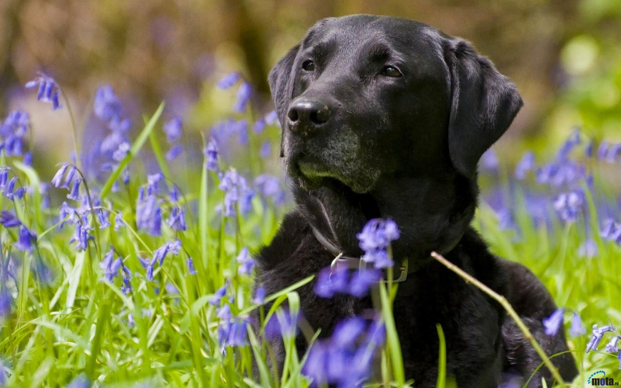 Wallpaper Black Labrador Retriever 1280 x 800 widescreen Desktop 1280x800