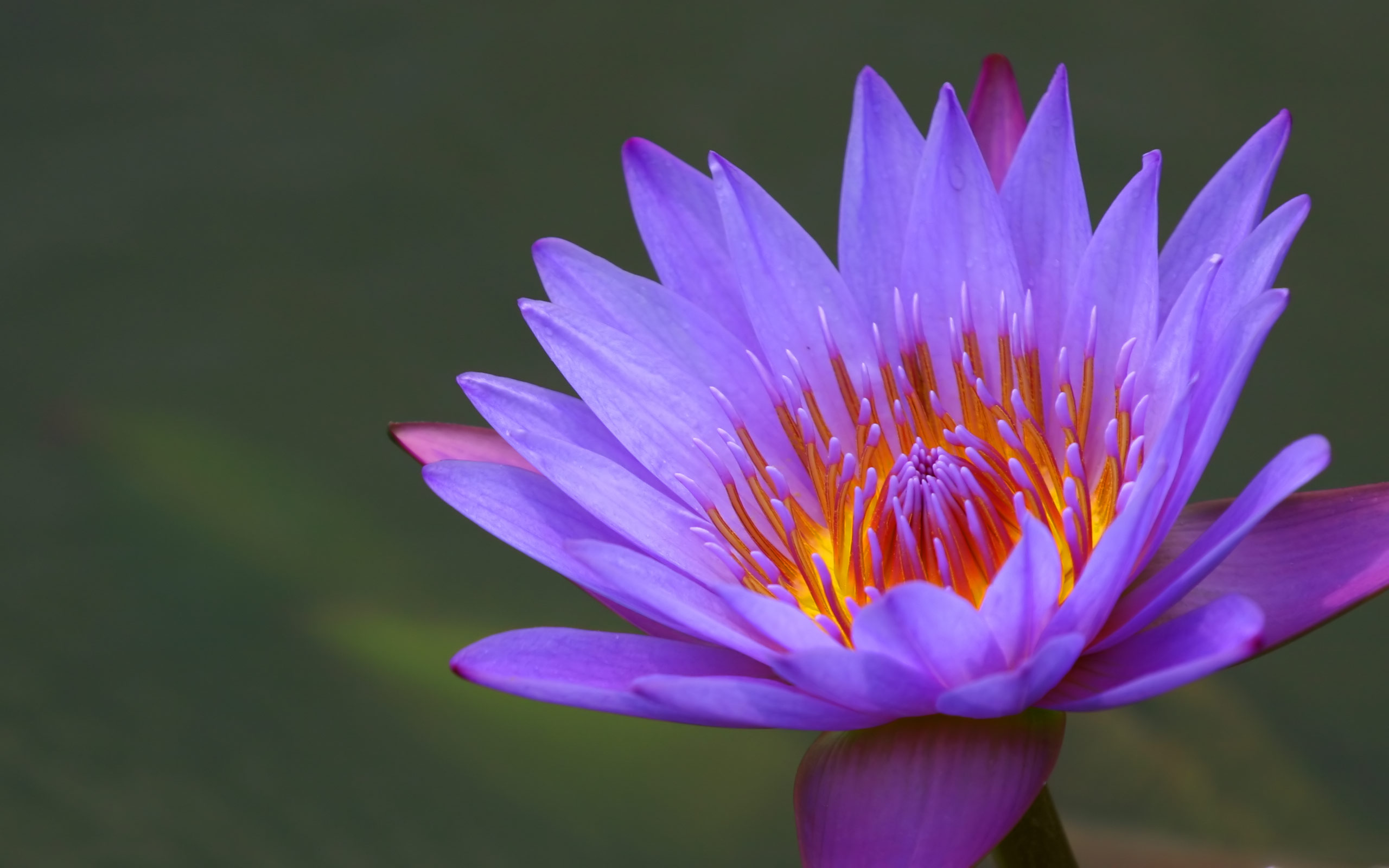 Water Lily Flower Wallpapers 2560x1600