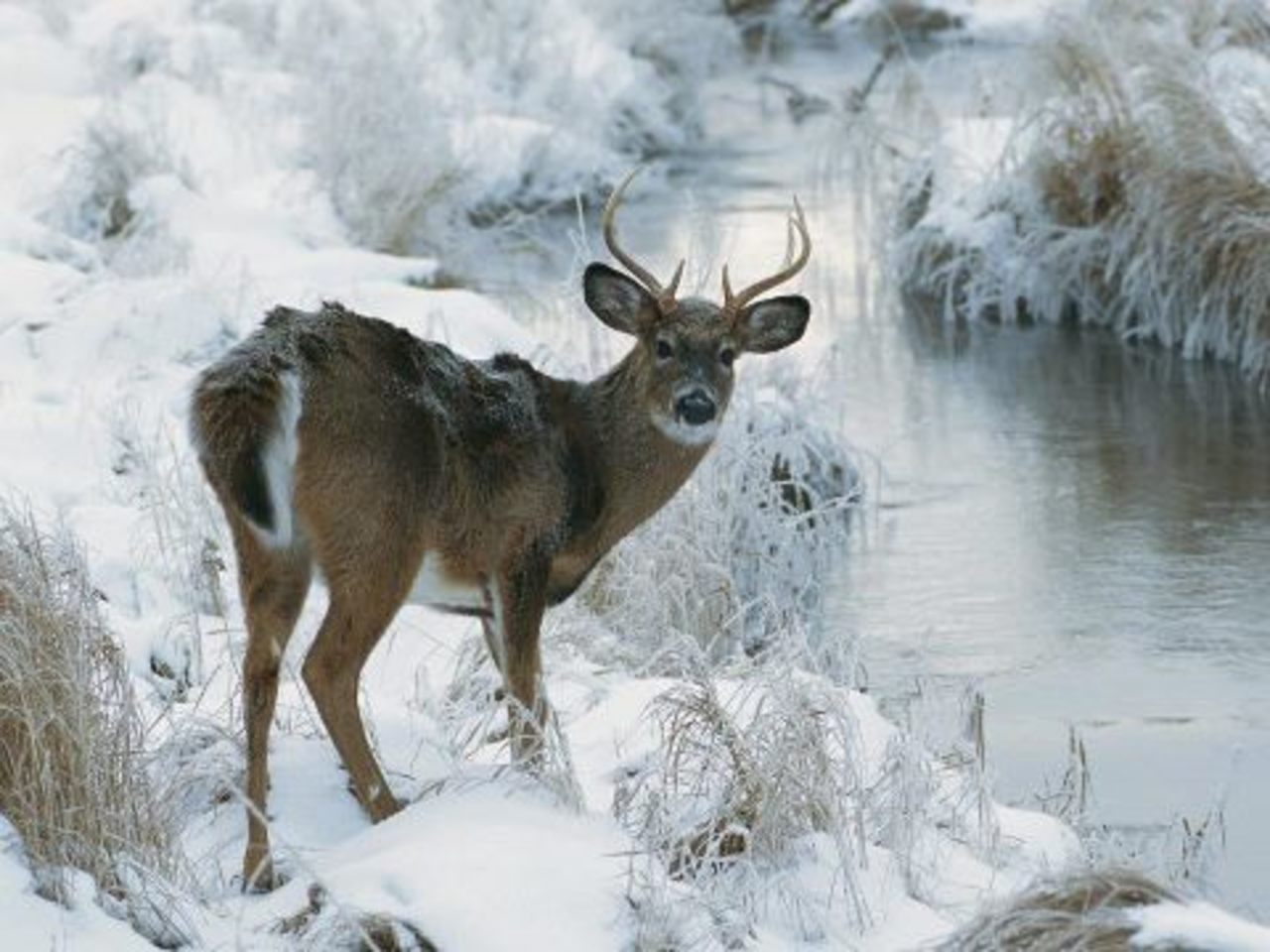 Photos Best Deer Photo Collection Deer in Winter Season Wallpaper 1280x960