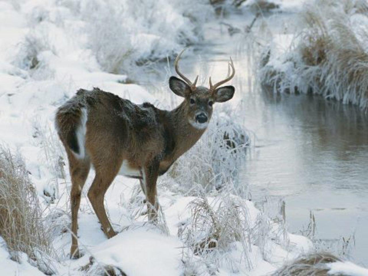 Photos Best Deer Photo Collection Deer in Winter Season Wallpaper 1280x960
