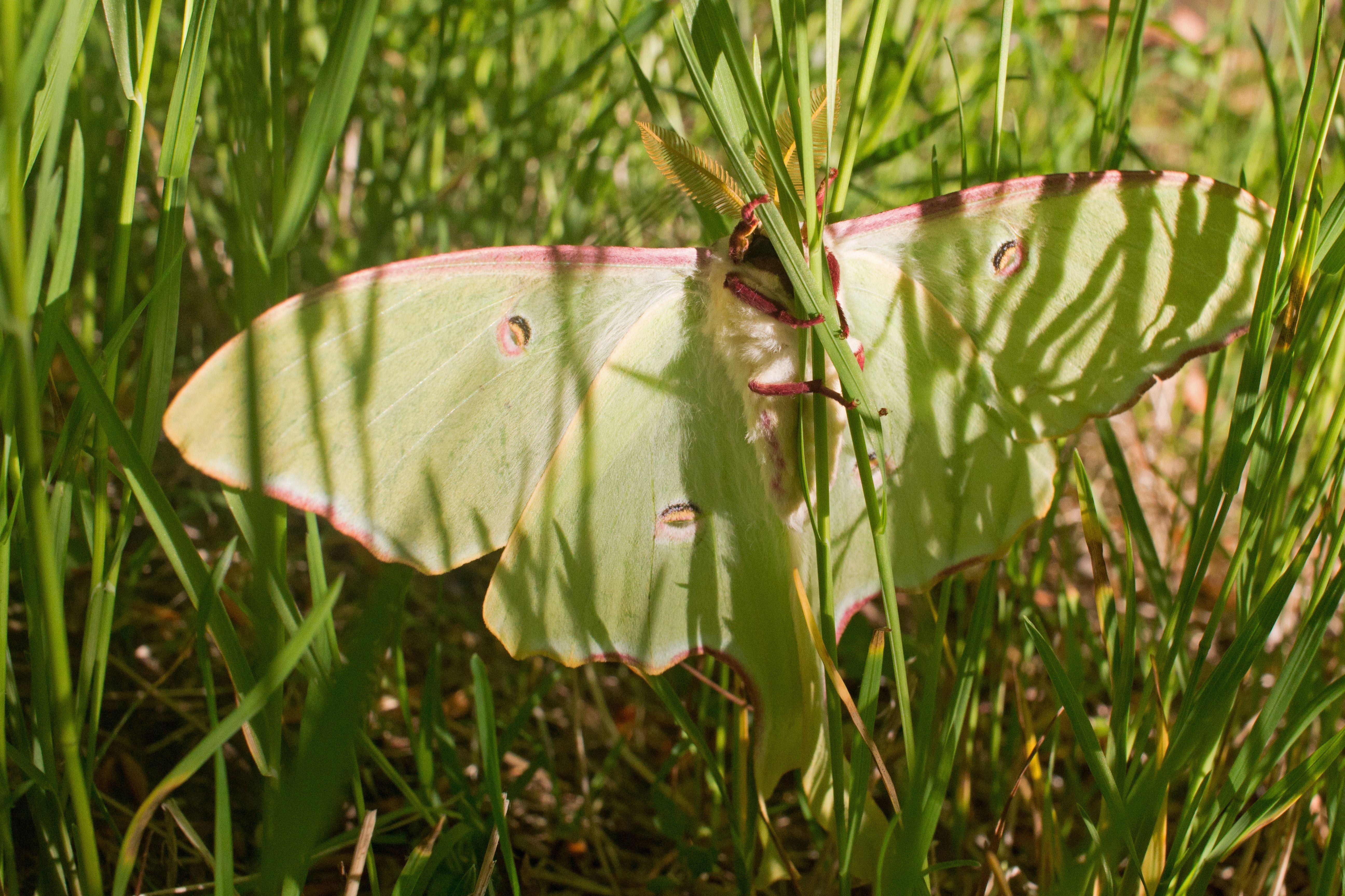 luna moth   Ecosia 5184x3456