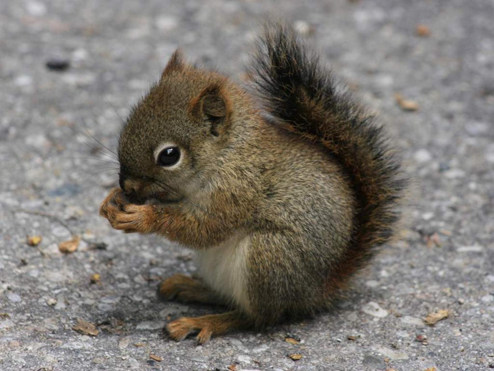 Desktop Wallpapers Baby Squirrel Cute Animal Wallpaper   iWallScreen 1600x1200
