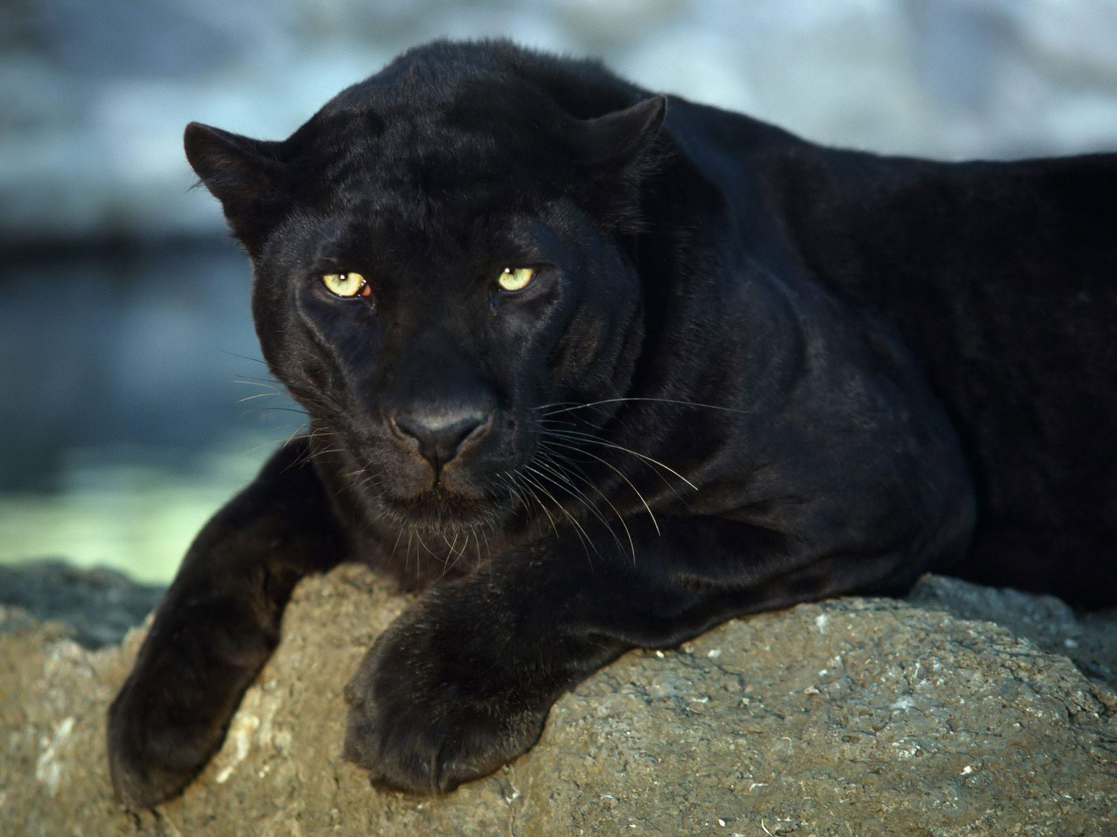 Animals Zoo Park Black Panther Wallpapers   Animals Hq Backgrounds 1600x1200