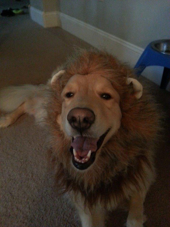 My cousins Golden Retriever is going as Lion for Halloween pikdit 720x960