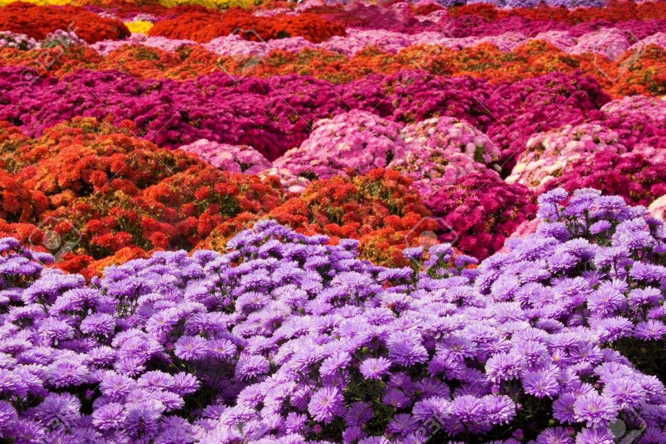 A Background Image Of Mums In Many Shades Of Pink Stock Photo 1300x866