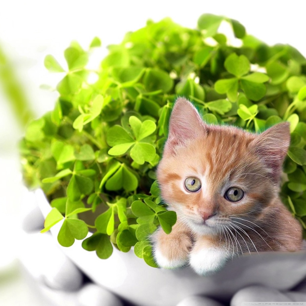 St Patricks Day Cat Wallpaper   Picseriocom 1024x1024