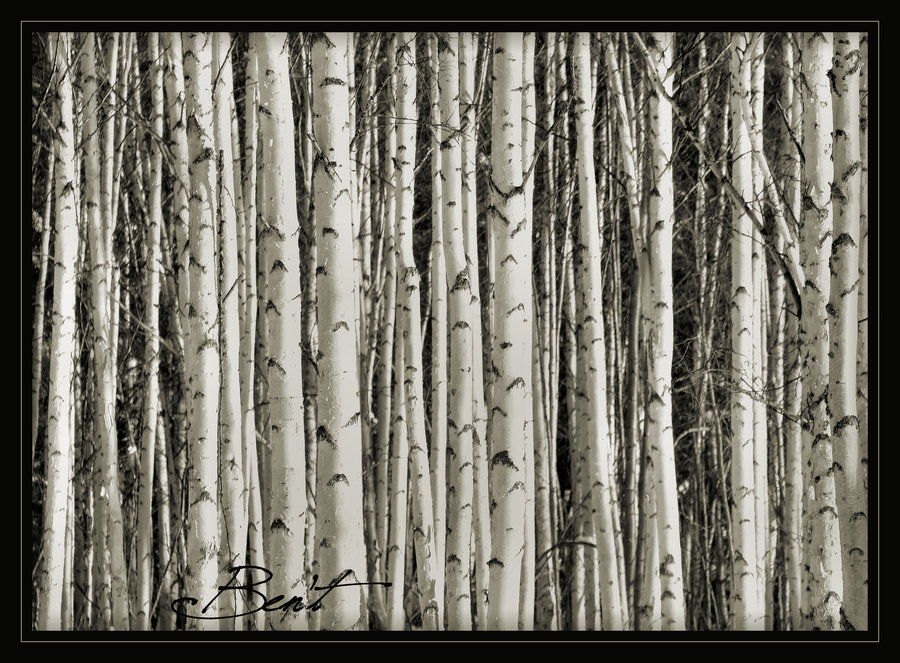 Birch Tree Wallpaper   Desktop Backgrounds 900x663