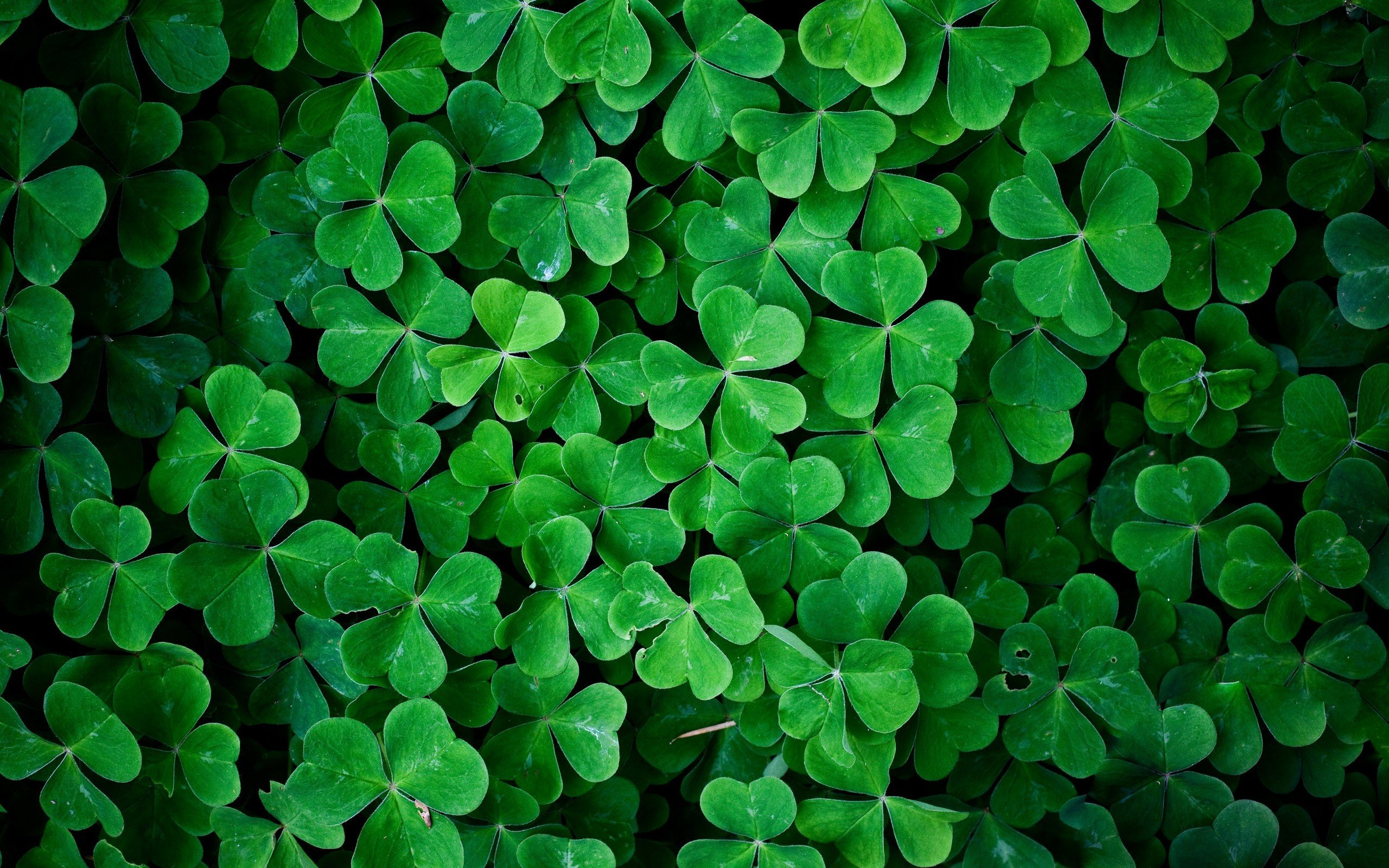 46 Irish Clover Wallpaper On Wallpapersafari