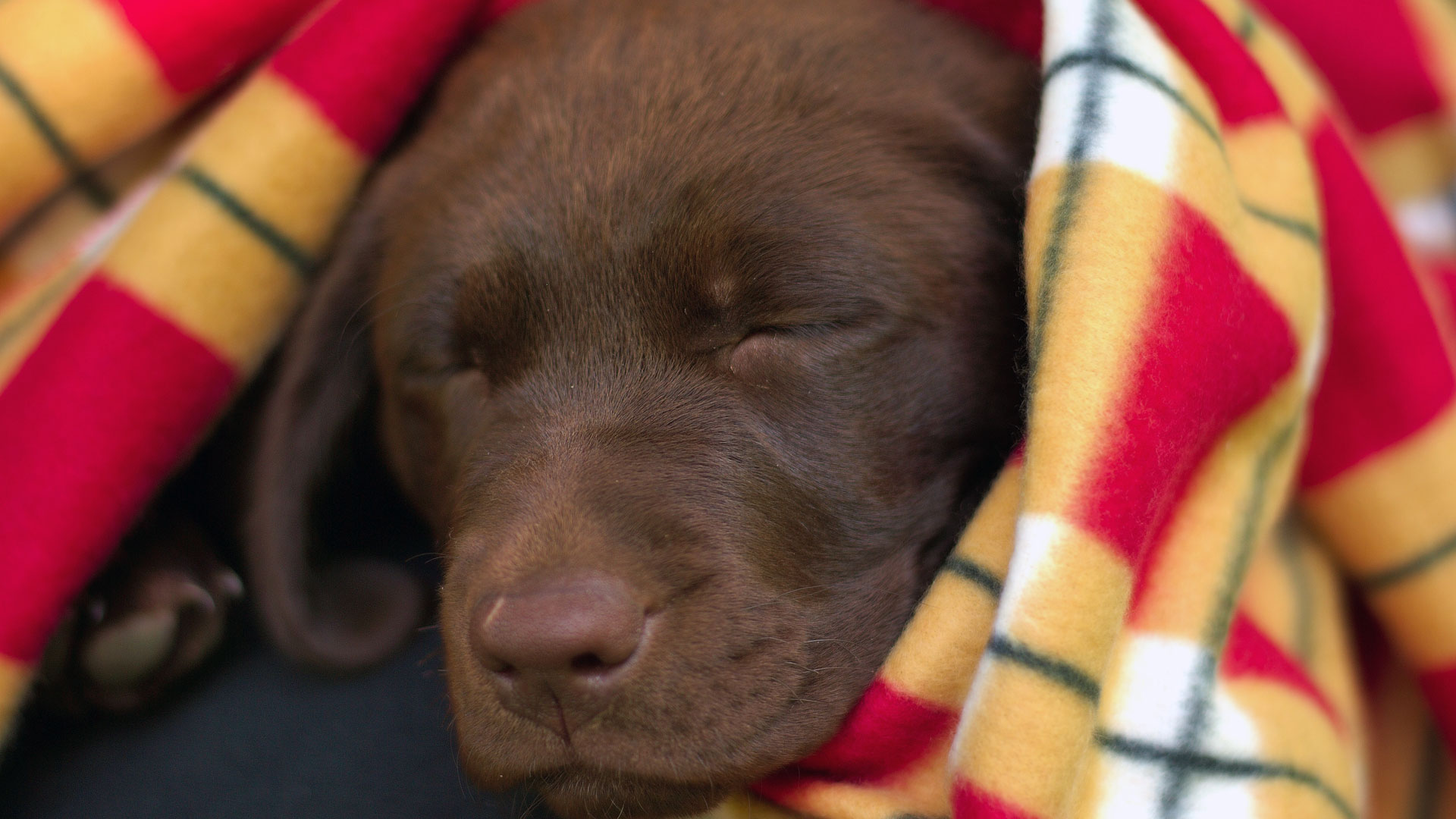 labradorcentercomwallpapers1920x1080chocolate lab puppy asleepjpg 1920x1080