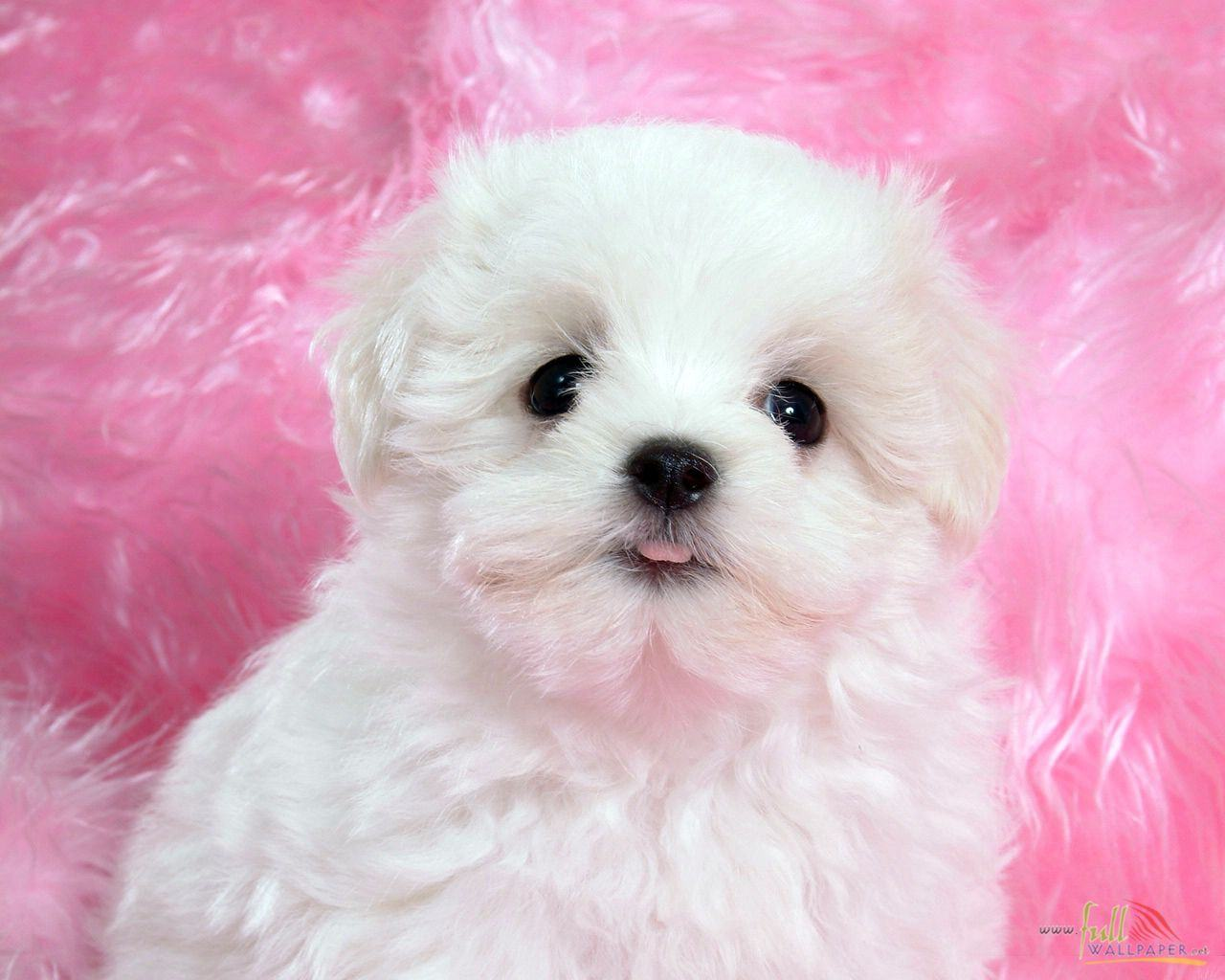 Baby Puppy Wallpaper