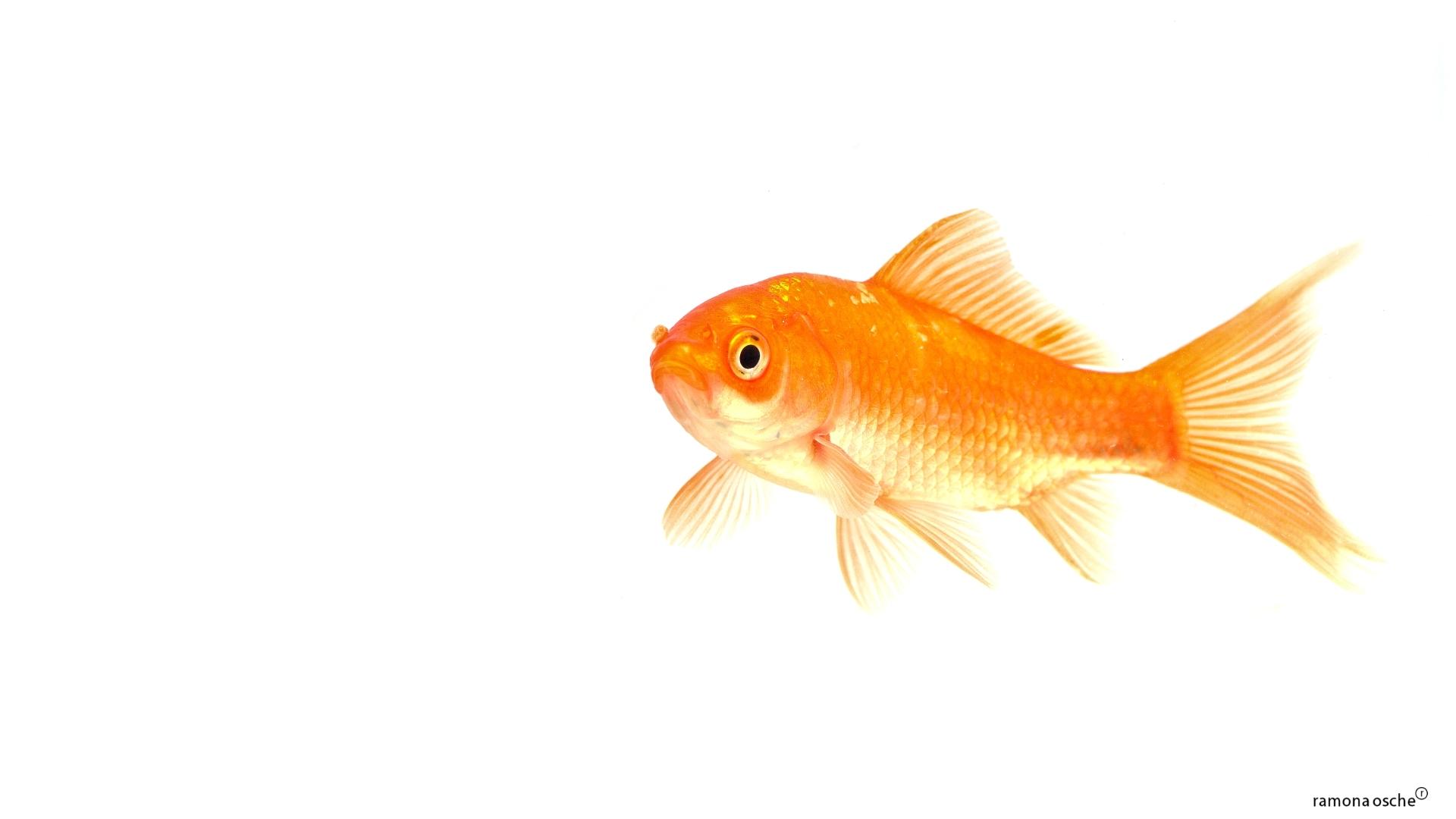 goldfish white background 1920x1080