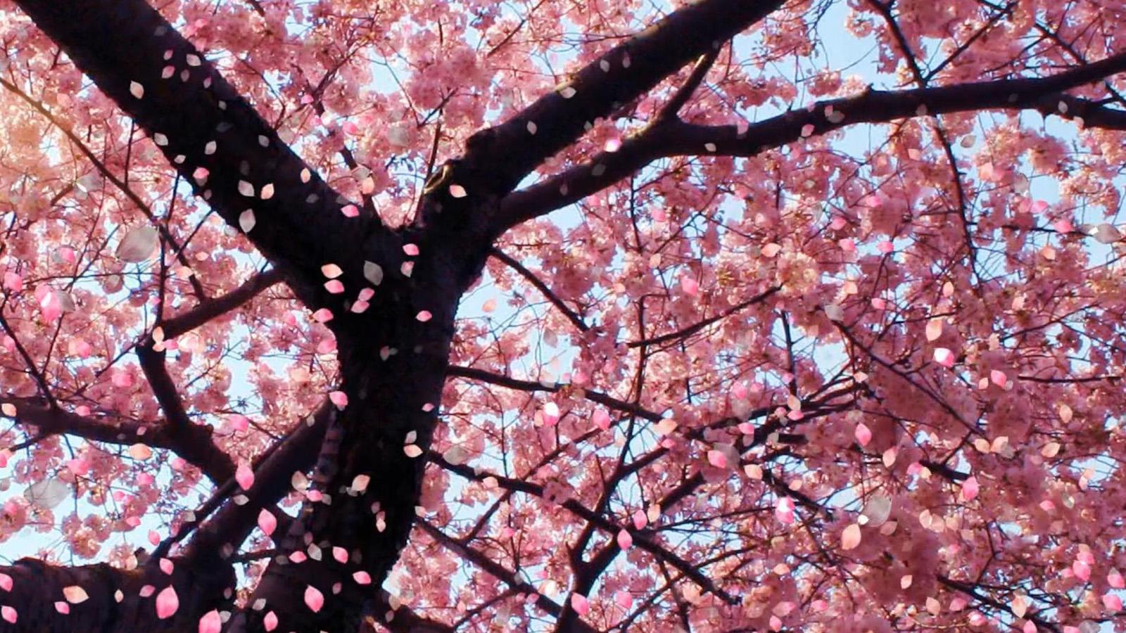 Cherry Blossom Wallpaper Desktop Wallpaper WallpaperLepi 1600x900