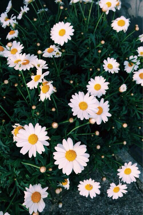Wallpapers Phones Backgrounds Daisies Wallpapers Phones Wallpapers 500x750