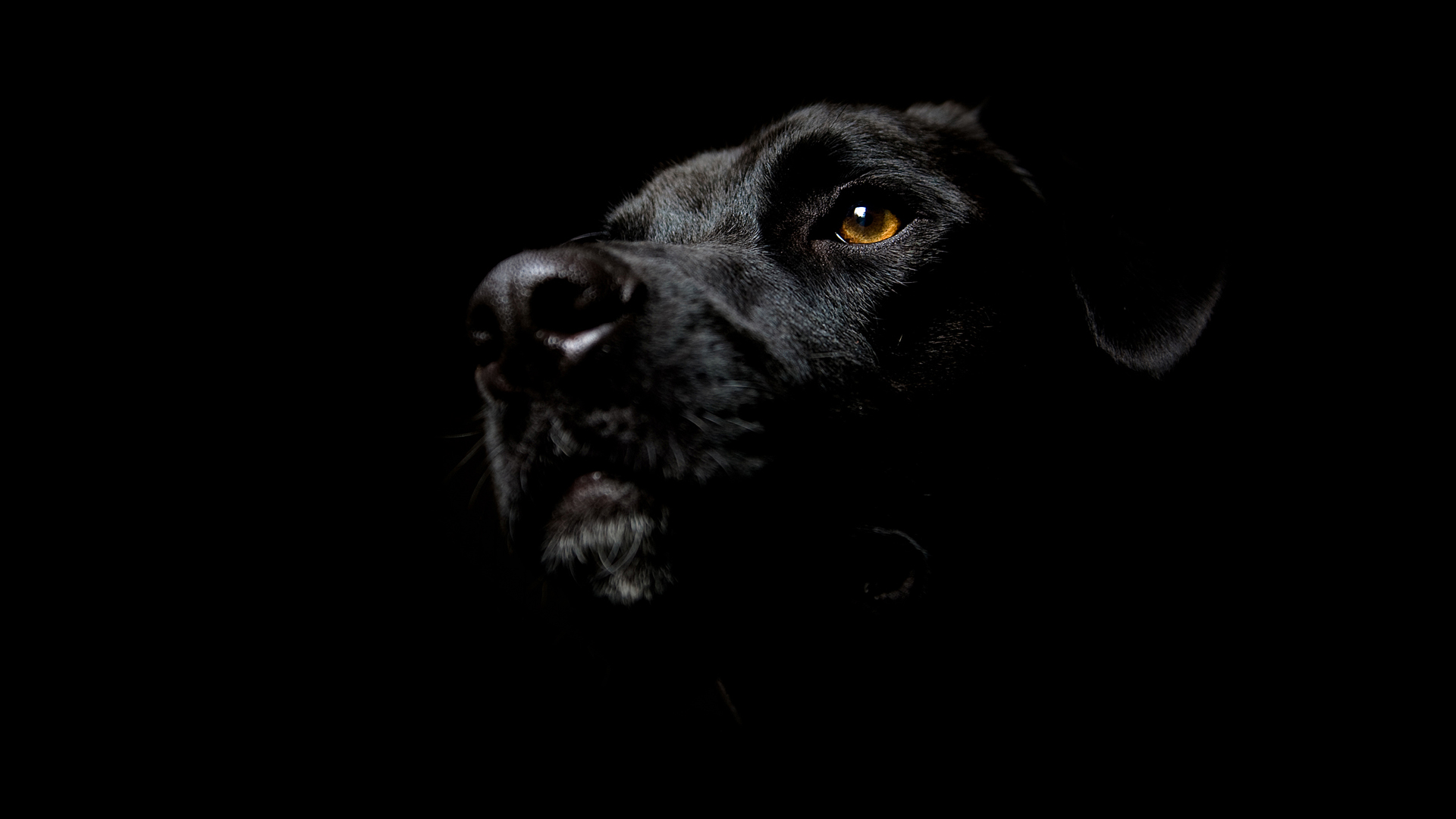 Black Labrador Dog Wallpaper Wallpaper 1920x1080
