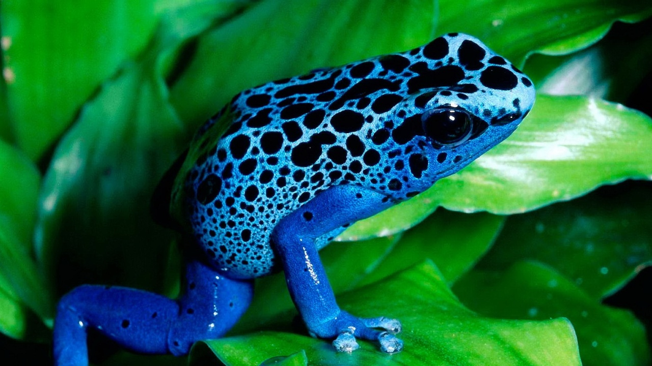 Blue frog Cute wallpapers 1280x720