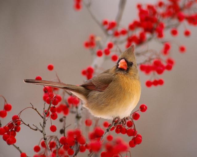 Cardinals birds desktop wallpapers 640x512
