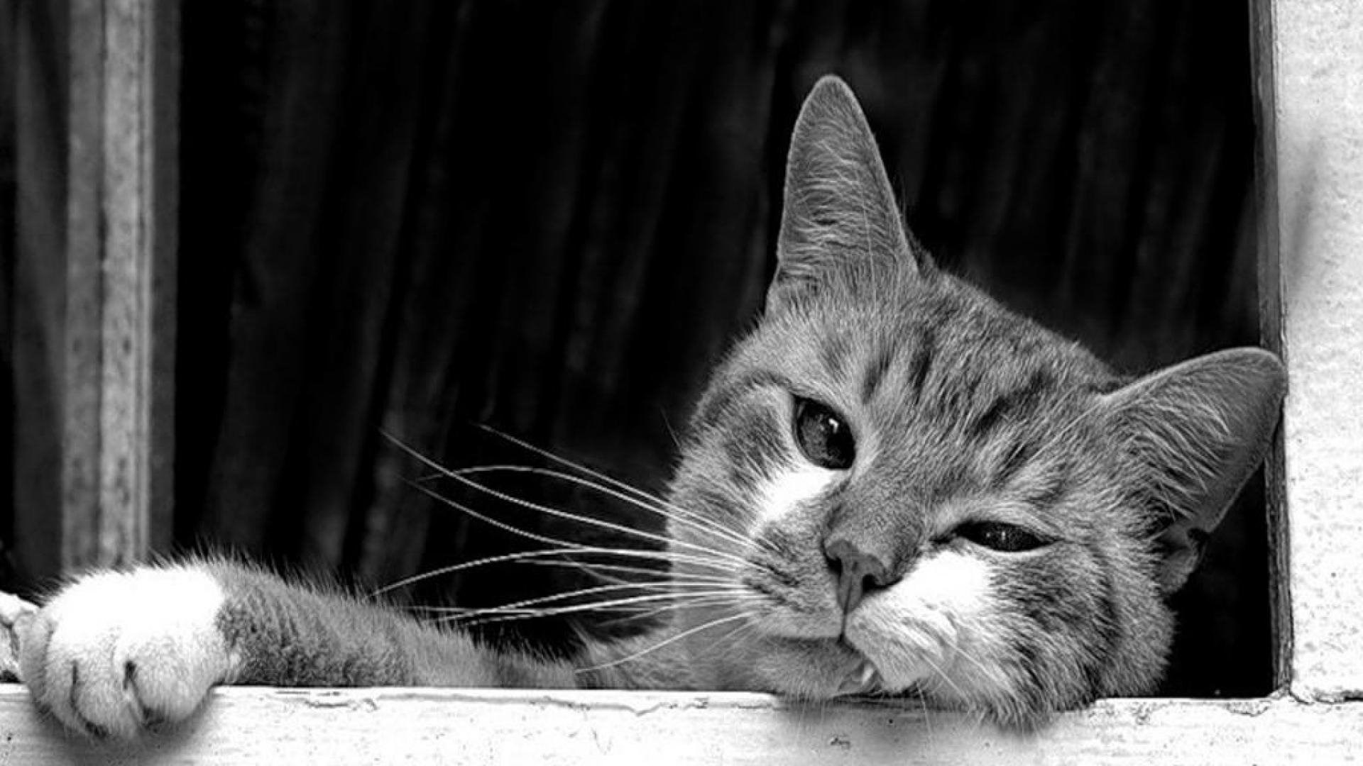Free Download Black And White Cat Wallpaper 1920x1080 For Your