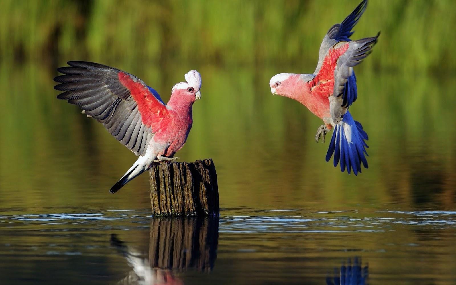 Beautiful parrots wallpapers wallpapersafari - Animal and bird hd wallpaper ...