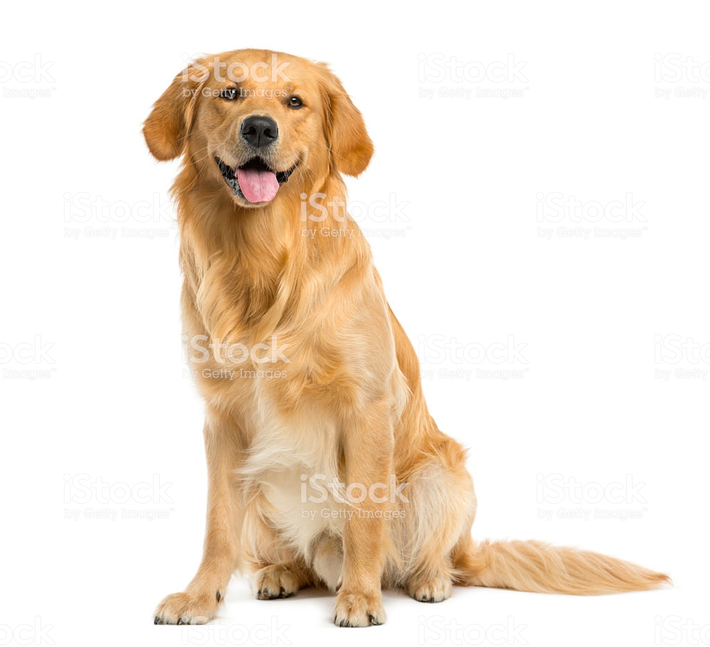 Golden Retriever Sitting In Front Of A White Background Stock 1024x934