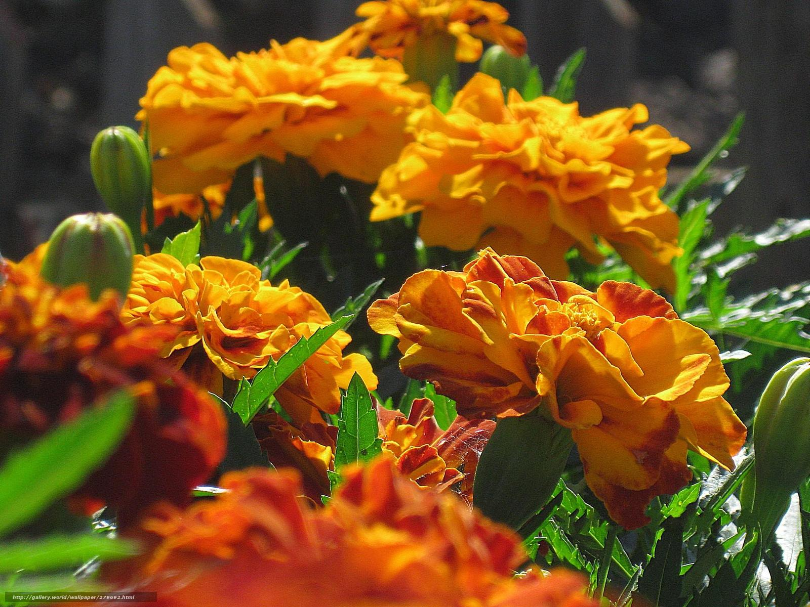 wallpaper Flowers bright orange marigold desktop wallpaper 1600x1200